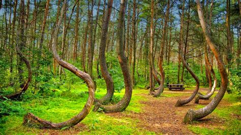 crooked forest poland mysterious crooked forest in gryfino poland