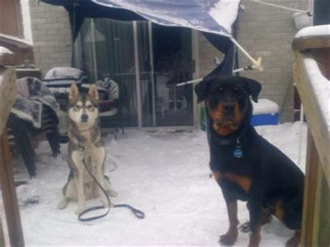 tough boy names for rottweilers 13 month rottweiler still destroys the house a of rottweilers