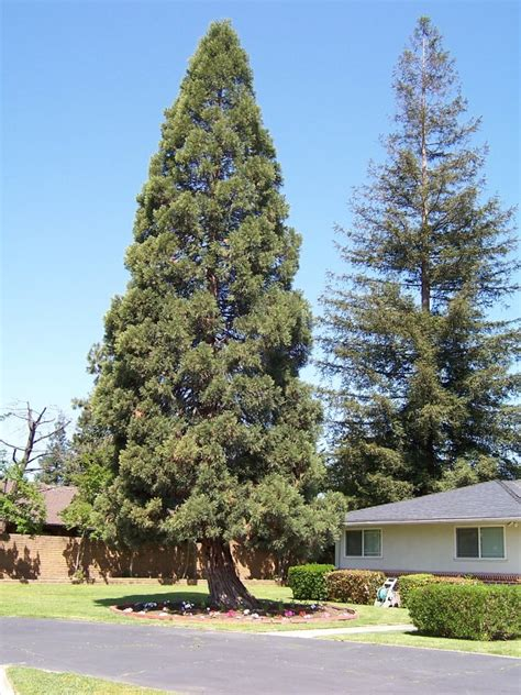 tree fresno ca barstow avenue tree the tree pictured is in a
