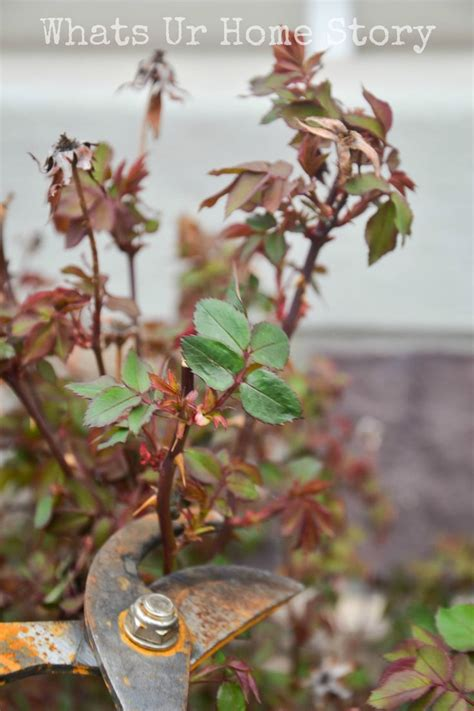 pruning knockout roses into the garden pinterest