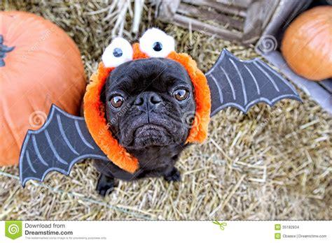 bat pug bat pug stock images image 35182834