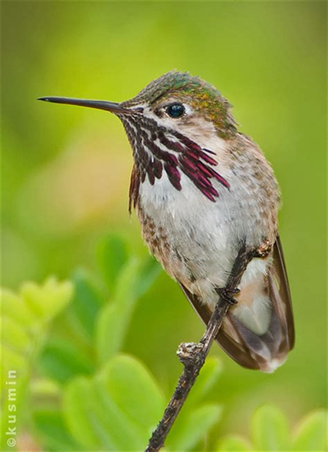 calliope hummingbird stellula calliope flickr photo