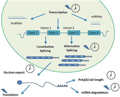 frontiers transcriptional regulation of mononuclear frontiers circadian rhythms and post transcriptional