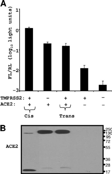 Interaction between TMPRSS2 and ACE2. (A) 293T cells