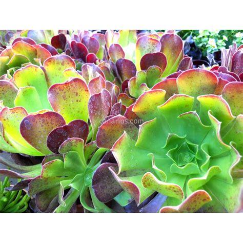buy aeonium arboreum cv purpureum with canarius