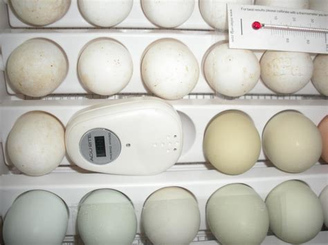 do eggs go bad at room temperature need help incubator starting to smell on day 8 backyard chickens