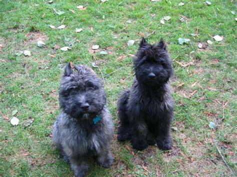 bouvier des flandres puppies needing a home bouvier des flandres breed information pictures autos post