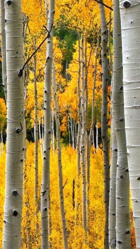 pin  mike ackerly  birch trees tree wallpaper iphone