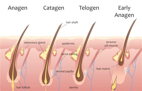 Shedding Phase Of The Hair Growth Cycle by Telogen Effluvium Causes Diagnosis And Treatments