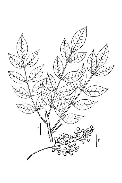 large image for toxicodendron vernix poison sumac usda