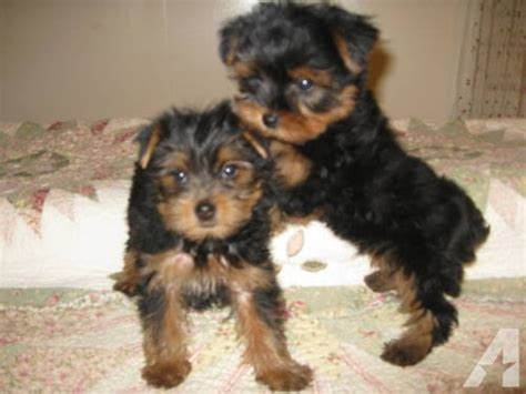 8 week yorkie puppies 2 month yorkie puppy breeds picture