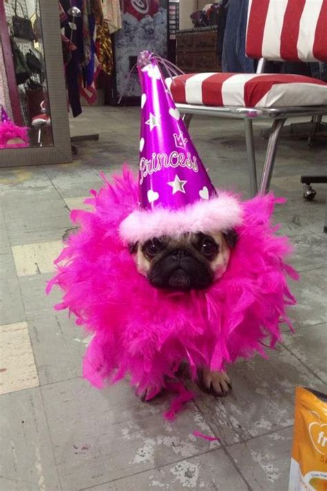 pug status 17 best ideas about happy birthday pug on pug puppies baby pugs and happy