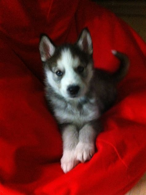 how much is a siberian husky puppy how much should a 8 week puppy weigh siberian husky questions husky owners the