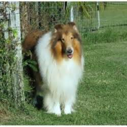 Collie breeders in the usa and canada freedoglistings page 1