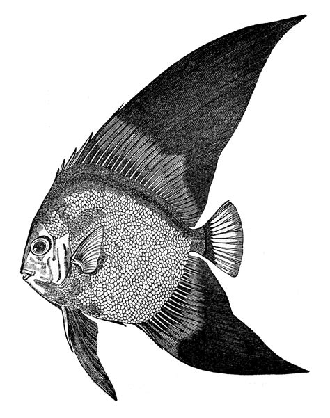 fish clipart vintage clip fish engravings the graphics