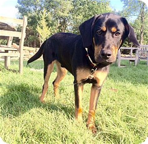 rottweiler basset hound mix staten island ny rottweiler basset hound mix meet a for adoption