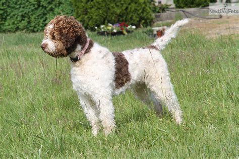 lagotto romagnolo puppies for sale padre lagotto romagnolo puppy for sale near nanaimo columbia 79f2281d 5ad1