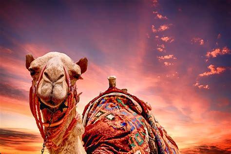 camel sunset landscape  photo  pixabay