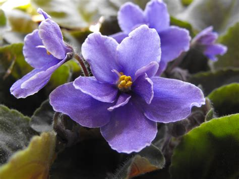viola flower wallpaper www pixshark com images african violet flower wallpaper www pixshark com