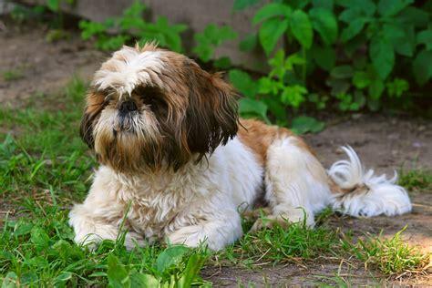 wann ist ein russel ausgewachsen 9 lovable facts about shih tzu dogs reference