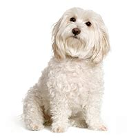 havanese weight range havanese information and havanese pictures