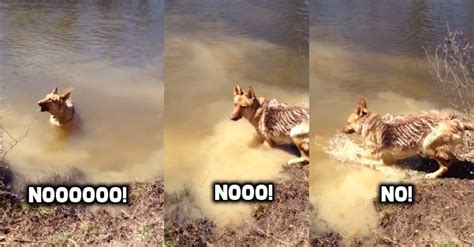 how to stop a german shepherd puppy from biting german shepherd throws the funniest tantrum after she s told to stop swimming