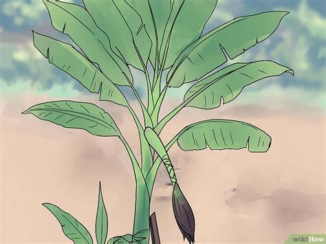pianta di banana in vaso come coltivare delle piante di banana 23 passaggi