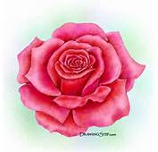 In This Drawing Lesson You Learn How To Draw A Rose With My Detailed