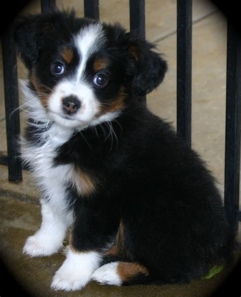 mini australian shepard puppies 1000 ideas about mini australian shepherds on blue merle australian
