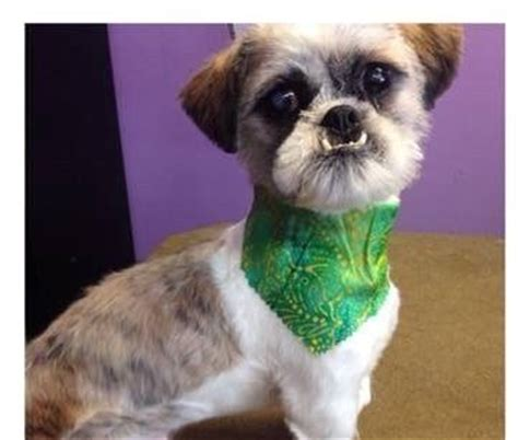 puppies st charles il available for adoption shaggy is a shih tzu located at rescue warriors