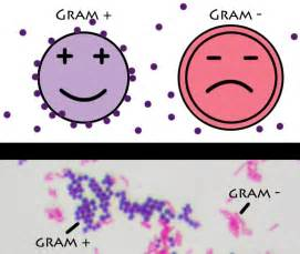what color is gram negative gram positive vs gram negative bacteria simplified