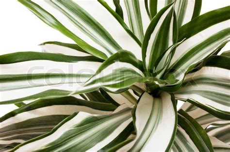 Indoor Vertical Gardening - macro view of striped succulent leaves over white background stock photo colourbox