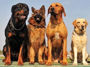 manly dogs manly dogs top 5 dogs for boldsky