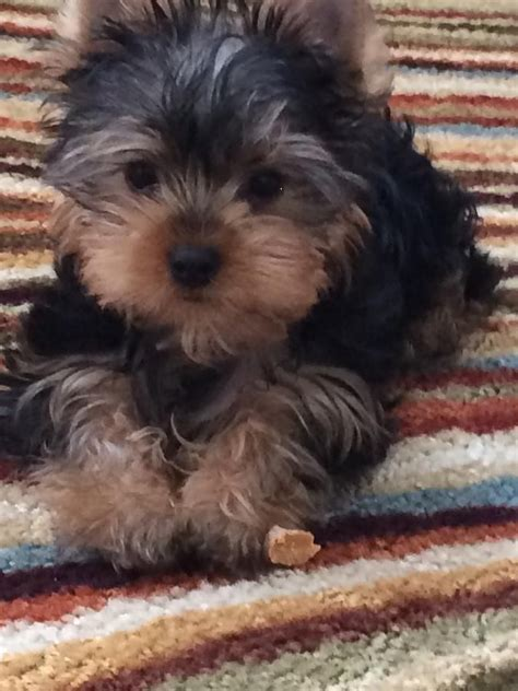 alabama yorkie breeders 17 best ideas about yorkie puppies for sale on yorkie dogs for sale