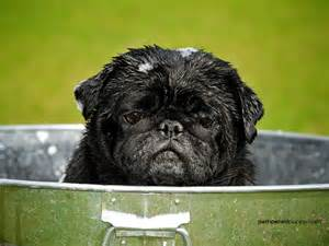 Beautiful-<strong>Pug</strong>-<strong>pugs</strong>-13728048-1600-1200.jpg