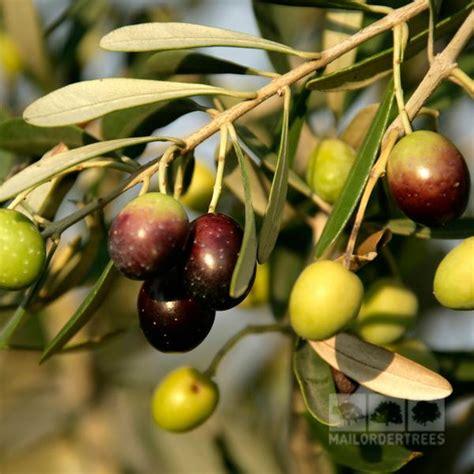 When Do Olive Trees Produce Fruit - olive tree olea europaea mail order trees