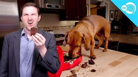 is chocolate for dogs is chocolate poisonous to dogs from brain stuff