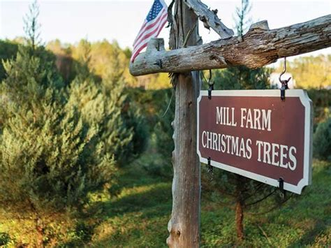 marking christmas trees at mill farm the local scoop