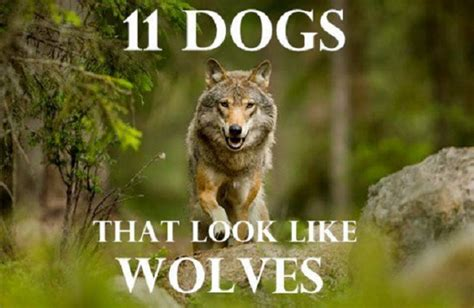 wolf breeds list list of wolf like breeds trackimo