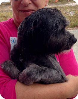 tibetan terrier shih tzu mix west palm fl tibetan terrier shih tzu mix meet teddy a for adoption