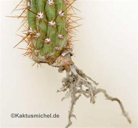 Kakteen Vermehren by Kakteen Ohne Samen Vermehren Kaktusnewskaktusnews