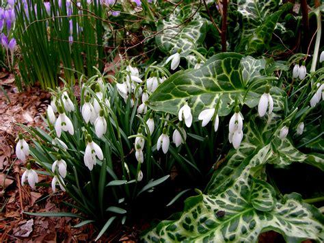 galanthus scharlockii carolyn s shade gardens