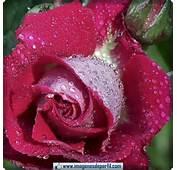 De Flores Rosas Para Perfil Facebook Imagenes