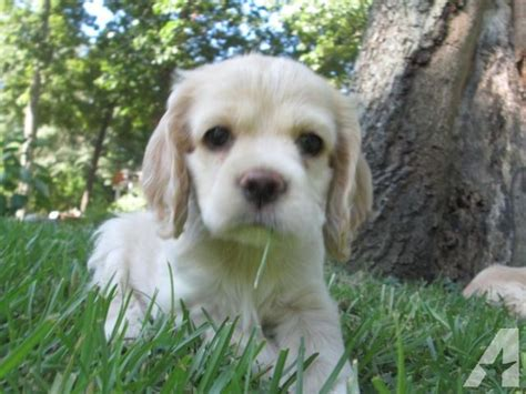 cocker spaniel puppies for sale in alabama ckc cocker spaniel puppies for sale in jacksonville alabama classified