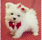 Teacup Maltese Puppies For Sale Offer Kingston Jamaica $400