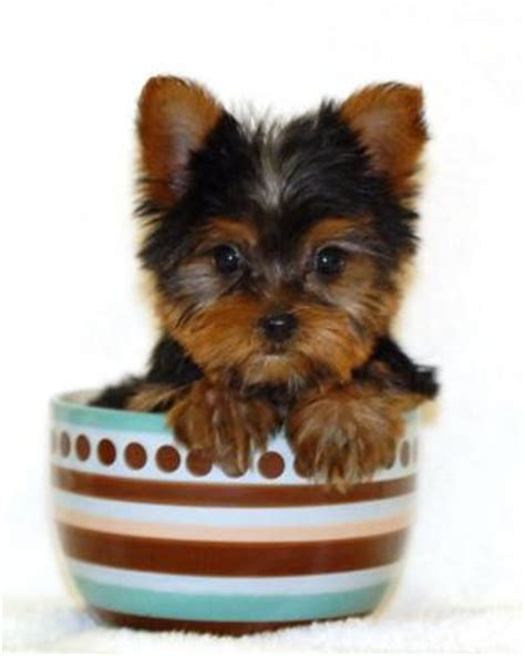 how much does a yorkie cost teacup dogs all about teacup puppies
