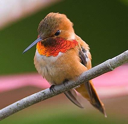 rufous hummingbird identification all about birds