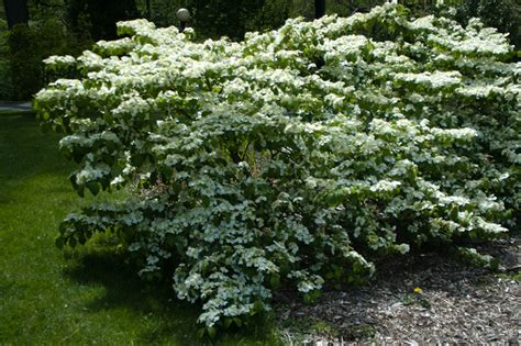 flowering shrubs deer resistant doublefile shasta viburnum