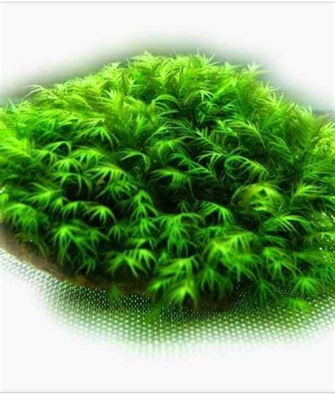 Tanaman Air Aquascape Moss tanaman aquascape moss fissiden di batu 3 pcs jual