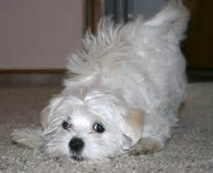 Maltese poodle mix pictures photos amp images